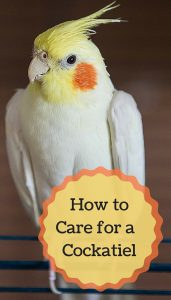 The complete beginners guide to caring for cockatiels as pets. Turns out, these make fantastic pet birds *when* you know what you're doing. Read on to learn more...
