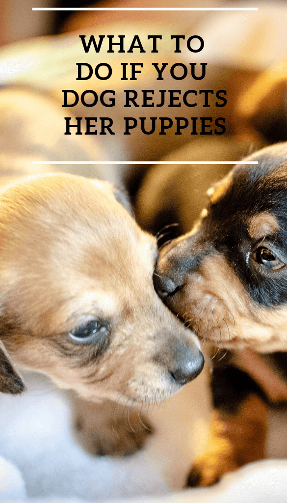 What to do if your dog rejects her puppies