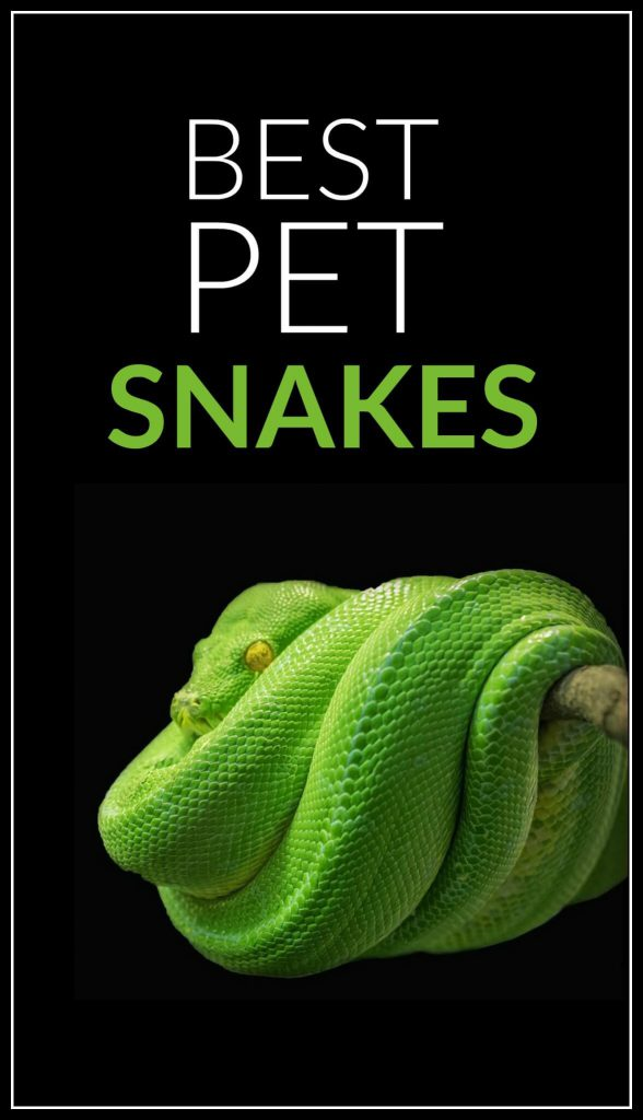 Want a pet reptile like a snake? Some are much better and easier to care for than others, and this article seems to do a great job of rounding up the top pet snakes (incase you were wondering, this green tree python isn't one of them!)