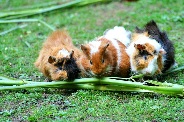 Guinea pigs can make fantastic pets for people of all ages.