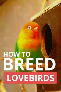Wondering how to breed lovebirds for the first time? This handy little guide explains all the basic details that you need to know to successfully breed and raise a brood of love birds.