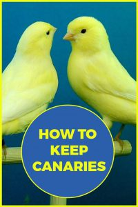 Complete beginners guide to keeping canaries as pets.