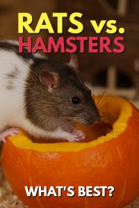 Trying to decide between rats vs hamsters as the best pet rodent? Read on for a complete run-down of the pros and cons of each pet...