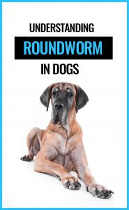 Many dogs are affected by roundworms. Find out all about roundworms and how to treat any parasite infection.