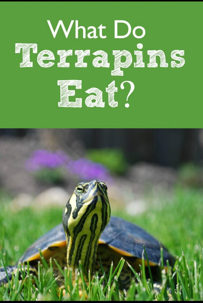 Wondering what you feed your terrapin? As it turns out turtles will eat a surprisingly broad range of foods. This article lays out exactly what to feed your pet reptile!